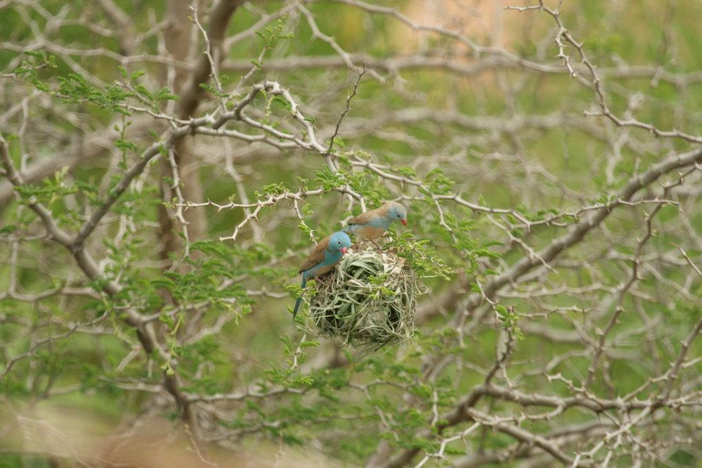 Blaukopf-Schmetterlingsfinken <em>(Uraeginthus cyanocephalus</em>) inspizieren das Nest eines Jackson-Webers (<em>Ploceus jacksoni</em>).