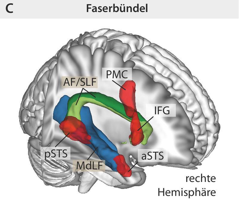 Dorsaler und ventraler Pfad in der rechten Hemisphärefür die Prosodie-Wahrnehmung.