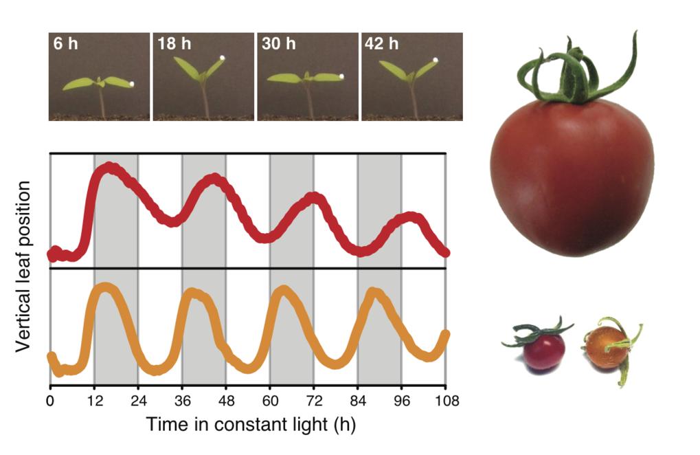 Domestizierung verlangsamt die innere Uhr der Tomate. Die Blätter von Tomatenkeimlingen zeigen rhythmische Bewegungen unter konstanten Umweltbedingung