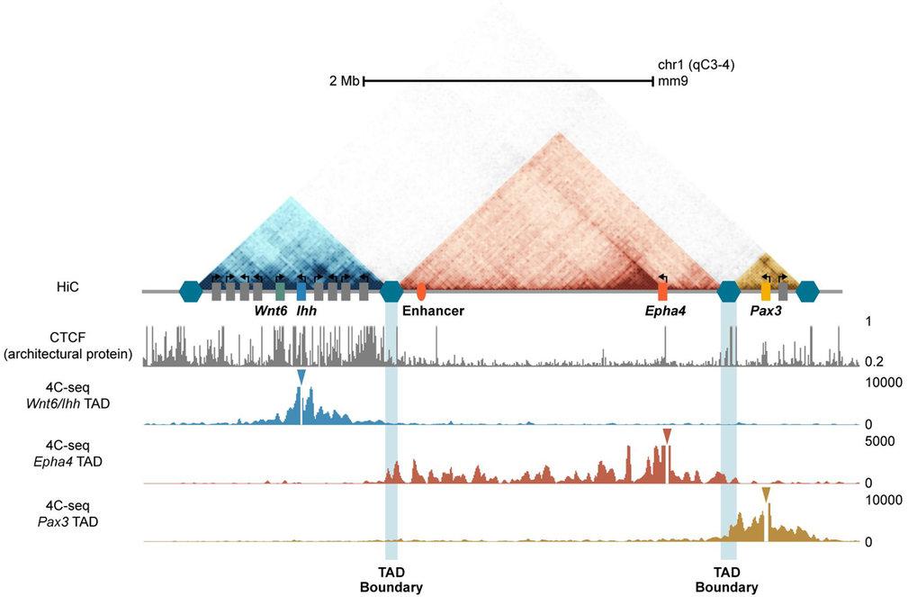 <strong>Abb. 1: </strong>Schematische Darstellung von Hi-C Interaktionen am Epha4-Locus. Die TADs sind in blau, rot und beige dargestellt. Die TAD-Gre