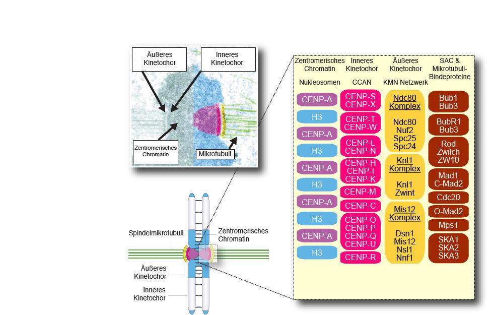 Abb. 1: Organisation des Centromers und des Kinetochors. Kinetochore sind spezialisierte Strukturen am Centromer, die für den reibungslosen Prozess de