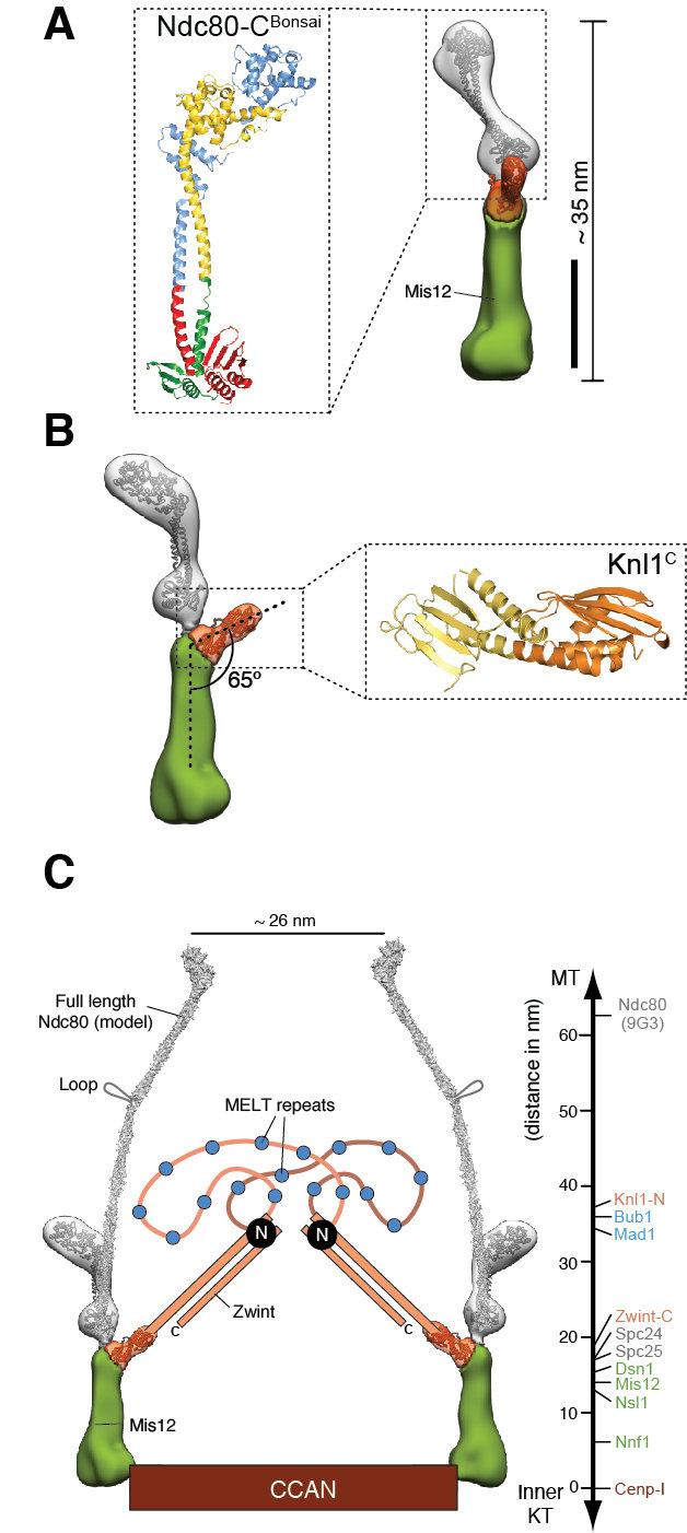Abb. 3: Domänenzuordnung in der 3D-Rekonstruktion des KMN-Netzwerks und relative Position der Signalkomplexe des Kontrollpunkts A) Molekulares Modell