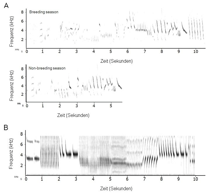 <strong>Abb. 1</strong>: Kanarienvögel sind ein gut untersuchtes Singvogelmodell, bei dem der Gesang hauptsächlich von Männchen produziert, saisonal v