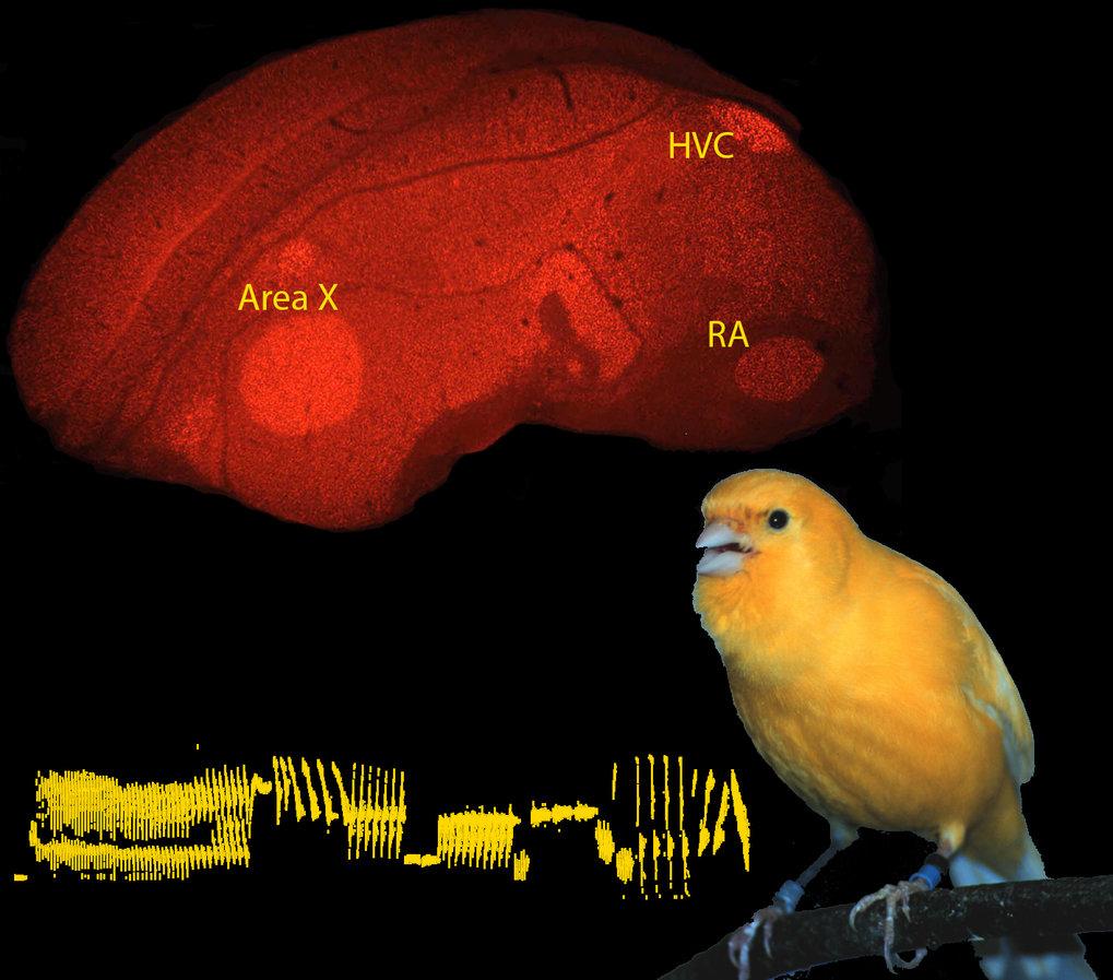 <strong>Abb. 2</strong>:Im zentralen Nervensystem der Singvögel akkumulieren in den Kernen des Gesangskontrollsystems jene Nervenzellen, die das Gesa