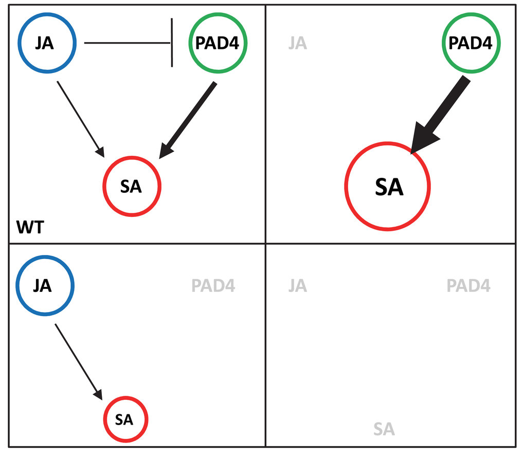 Abb. 2: Ein Netzwerkmodell zweier Signalwege – Jasmonat (JA) und Salicylat (SA) - das Robustheit des pflanzlichen Immunsystems und zugleich dessen Reg