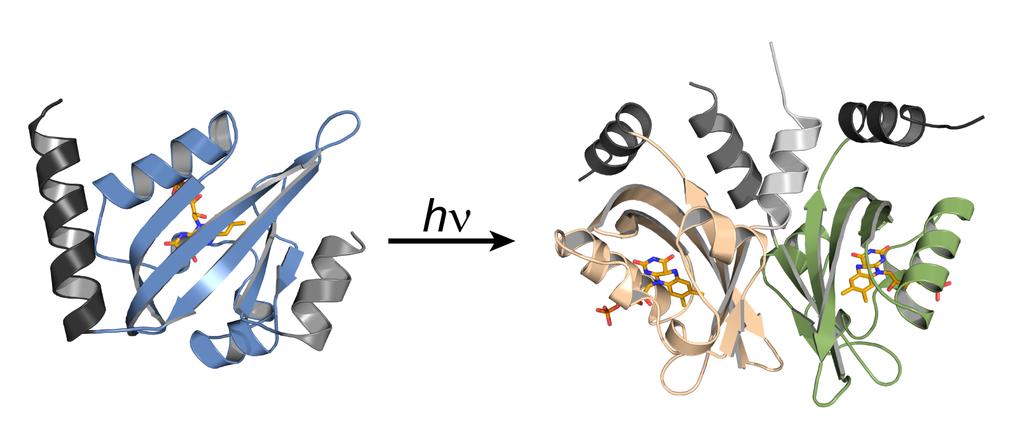 Erkenntnisse über die Arbeitsweise des lichtsensitiven Proteins Aureochrom 1a hilft bei der Entwicklung neuer optogenetischer Werkzeuge