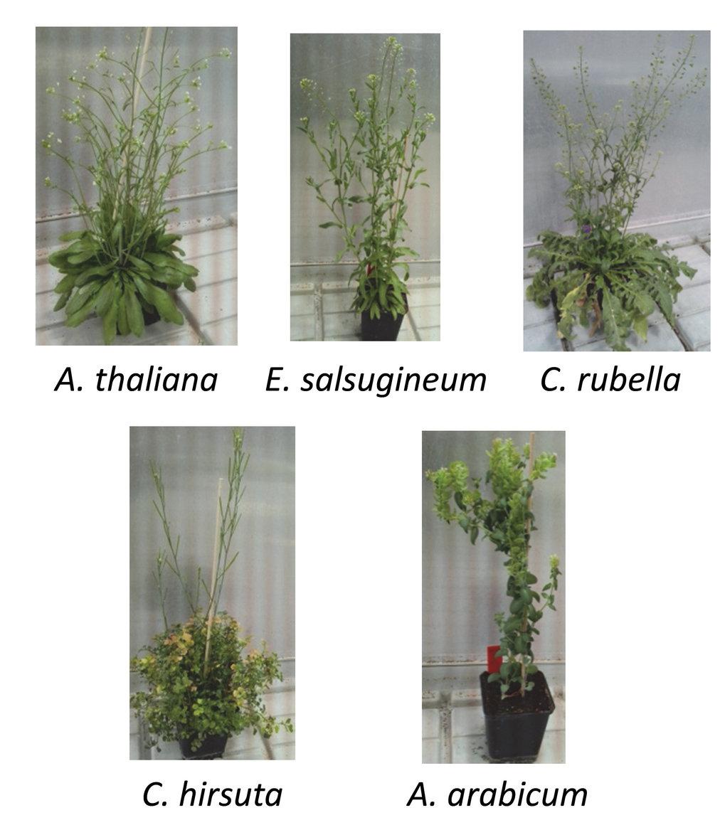 Abb. 3: Inwieweit sind Signalnetzwerke des pflanzlichen Immunsystems innerhalb verschiedener Brassicaceae Spezies konserviert oder nicht? Die Abbildun