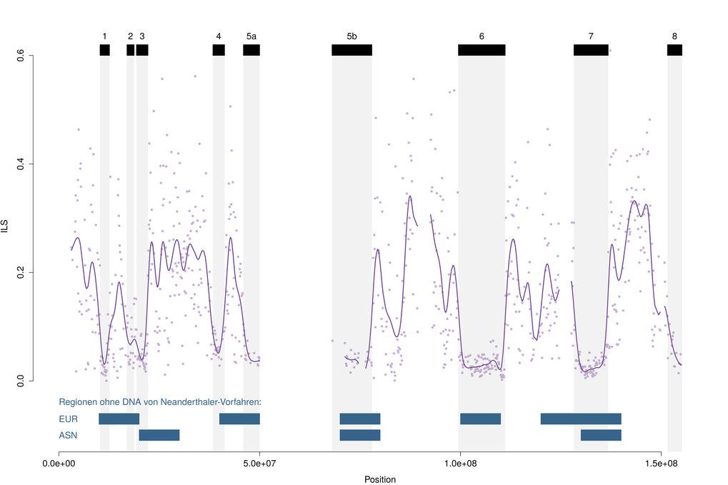 Abb. 2: Muster eines incomplete lineage sorting anhand der Ausrichtung des X-Chromosoms von Mensch, Schimpanse und Gorilla. Die Analyse ergab acht gro