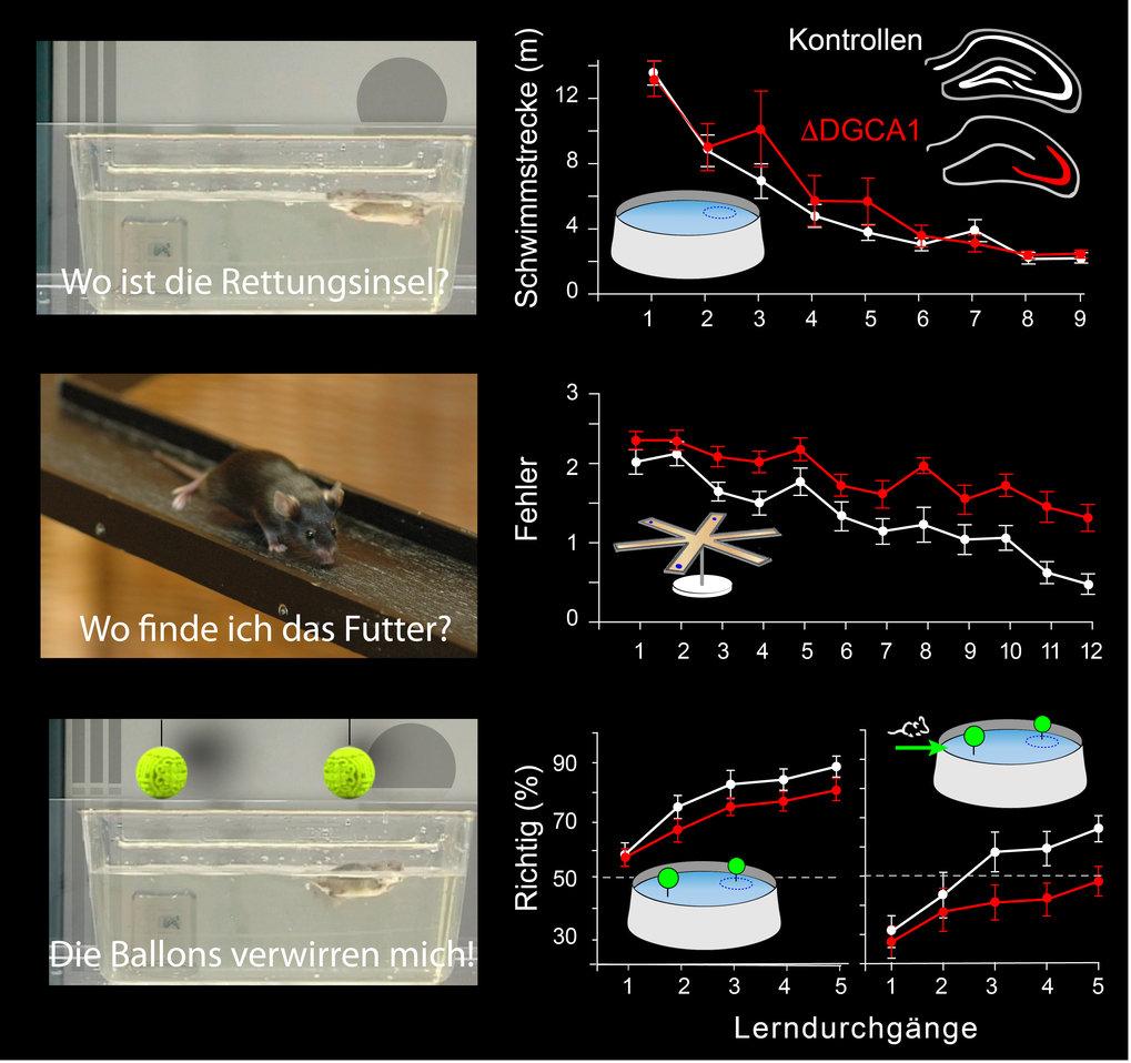 """<p class=""""Body""""><strong>Abb. 3: </strong>Lernkurven von Mäusen mit Verlust der NMDA-Rezeptoren in Nervenzellen des <em>Gyrus Dentatus </em>und der CA1"""