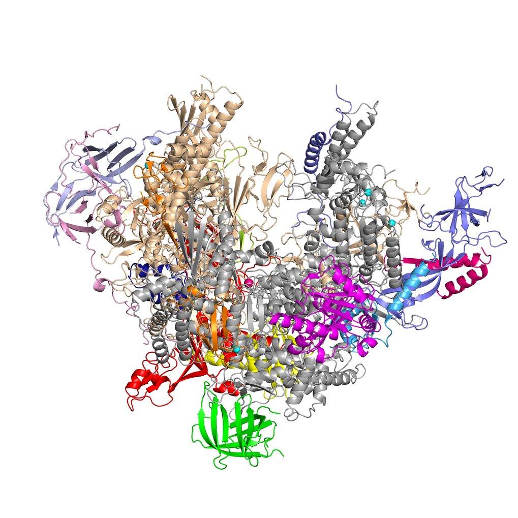<strong>Abb. 1:</strong> Atomare Struktur der RNA-Polymerase I. Die Struktur wurde mithilfe der Röntgenkristallographie ermittelt.