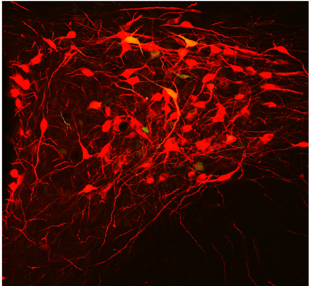 A small group of oxytocin producing neurons (red) coordinates the release of oxytocin via blood and the spinal cord.