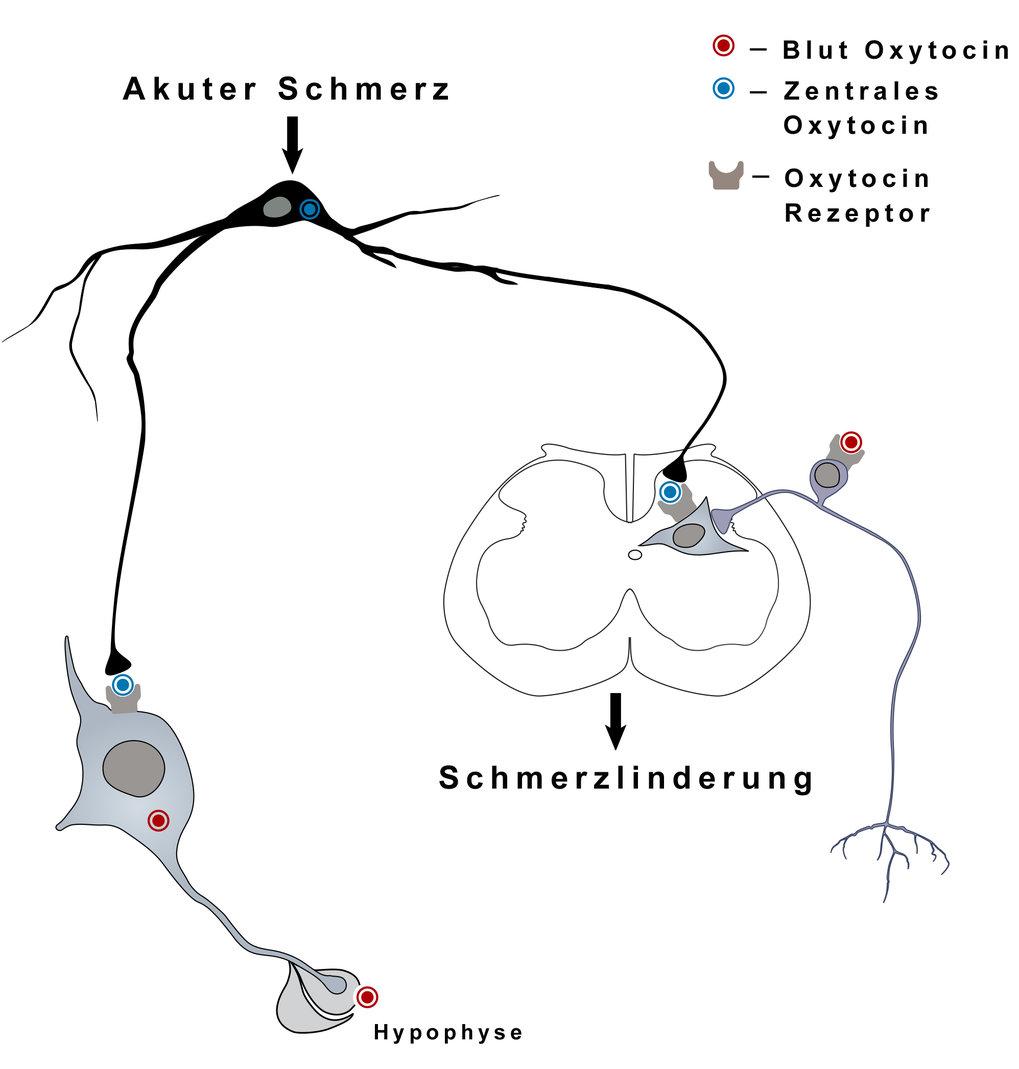Oxycotin wird im Gehirn produziert und über die Hypophyse ins Blut abgegeben (linker Pfad). Forscher haben nun entdeckt, dass das Hormon auch im Rücke
