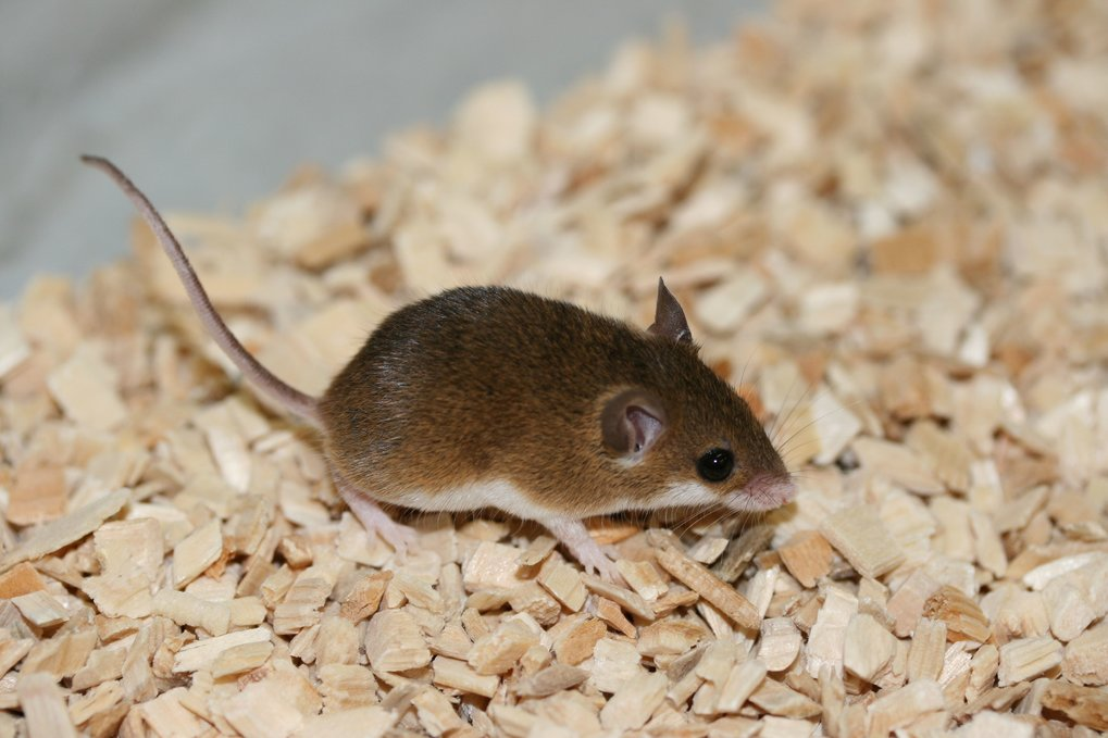 """The """"mini mouse"""" Mus mattheyi is one of ten mouse species that researchers have studied at the Max Planck Institute for Evolutionary Biology in their"""