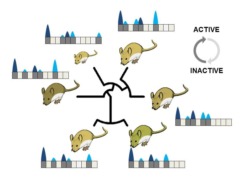 Evolution changes the activity within the genome: A comparison of different mouse species shows regions of the genome where the DNA is transcribed (bl