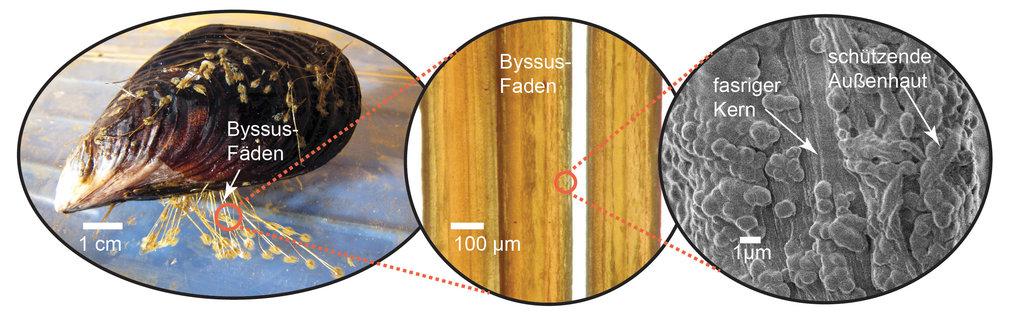 Abb.1: Muscheln halten sich im Küstenbereich auf Oberflächen mit Byssus-Fäden fest. Diese bestehen aus einem dehnbaren, sich selbst reparierenden Kern