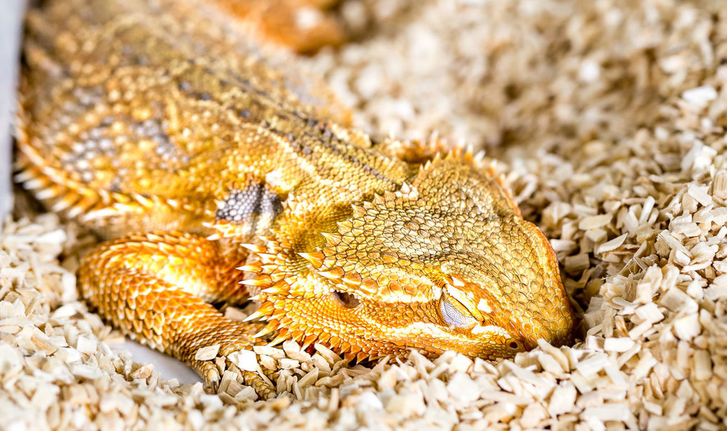 Bearded dragons show REM and slow wave sleep