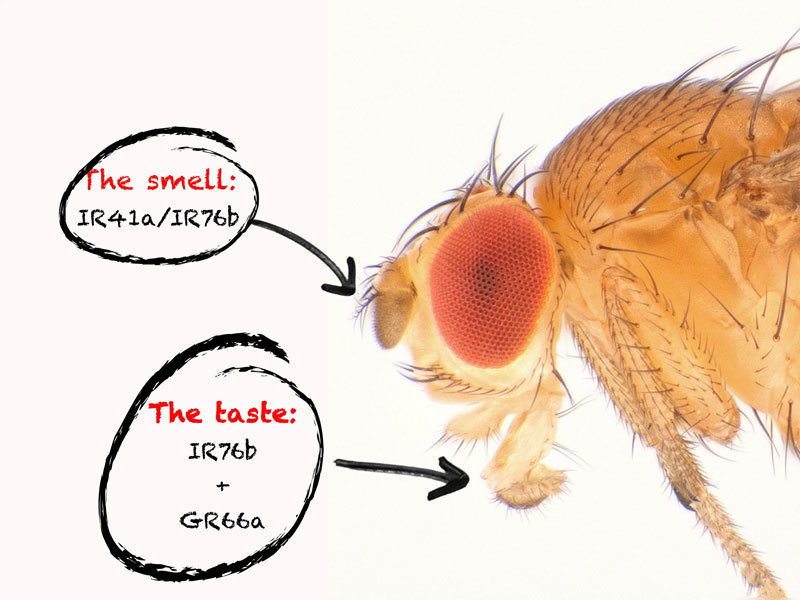 Two receptors each in the smell and taste organs enable the fruit fly to track down vital polyamines in food.