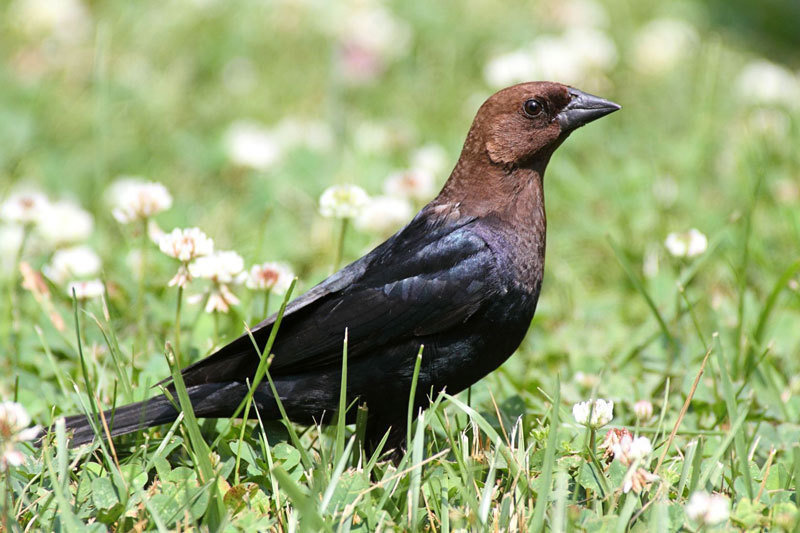 The American brown-headed cowbird lays its eggs in other birds' nests and leaves its young to the foster parents. If the host birds reject the eggs th