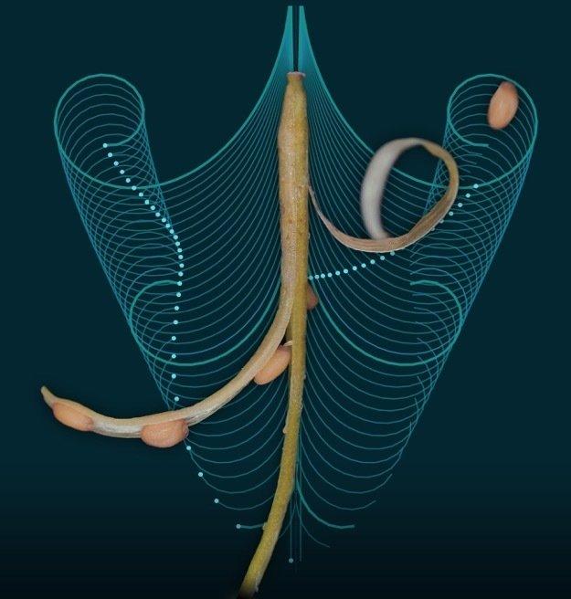 Samenausbreitung des Behaarten Schaumkrauts: Forscher haben mithilfe eines mathematischen Modells die Bewegung der Samenhülsen berechnet. Die blauen L