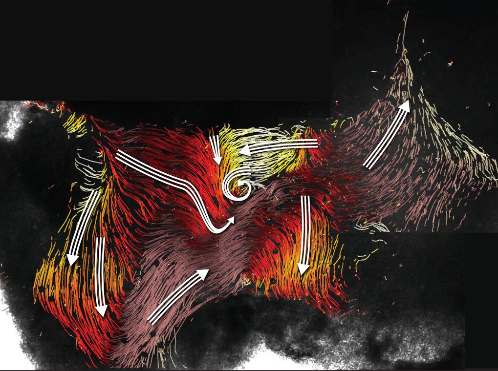 Strömungskarte im dritten Ventrikel des Maushirns mit den Strömen entlang der Ventrikelwand (farbige Linien) und den Hauptstromrichtungen (weiße Pfeil