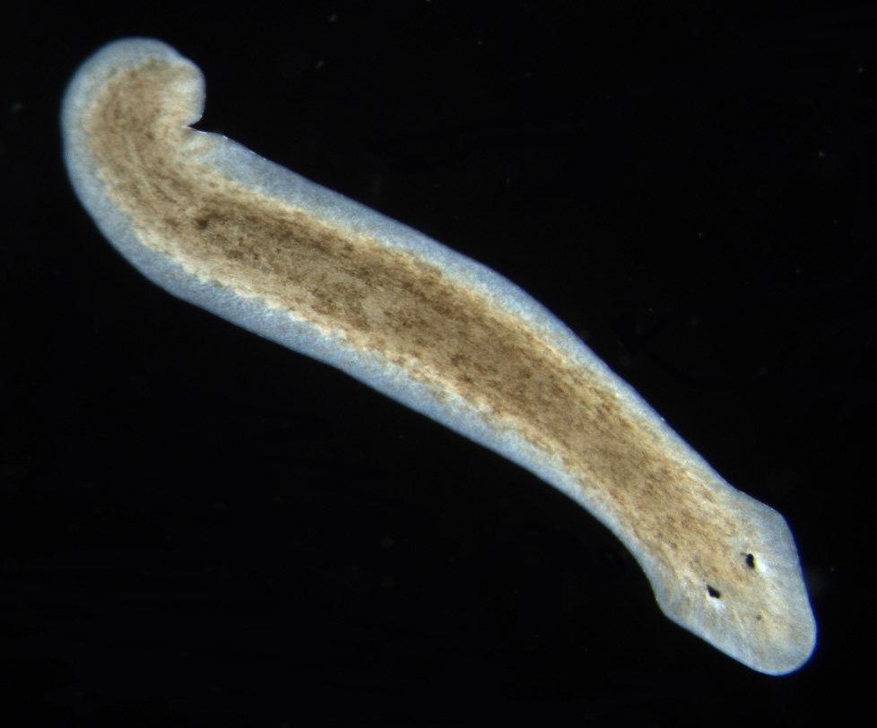 Planarien sind kaum totzukriegen – jedenfalls nicht durch Zerstückeln. Selbst aus kleinen Teilen kann wieder ein vollständiger Wurm entstehen. Vorauss