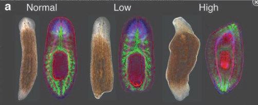 Planarien brauchen den Hedgehog-Signalweg für die Regeneration von verlorenem Gewebe. Normalerweise (links) bildet ein Mittelstück einen Kopf mit Gehi
