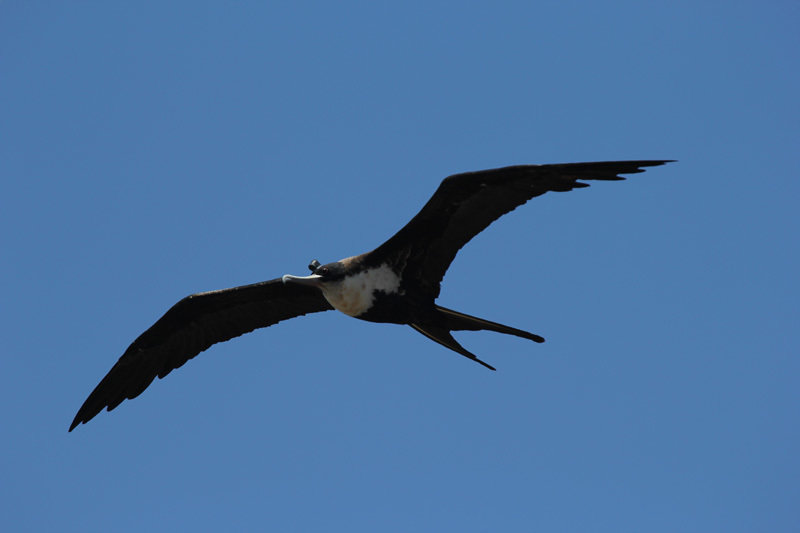 Frigatebirds reaches a wingspan of over two meters. They are excellent gliders and can cover several hundred kilometers a day.