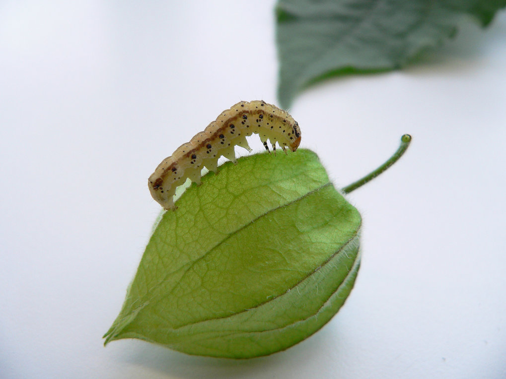 <p>Moth takes advantage of defensive compounds in <em>Physalis</em> fruits</p>