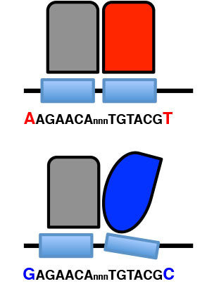 Changing the sequence of the DNA binding site of the glucocorticoid receptor (black line with light blue boxes) influences its structure which in turn