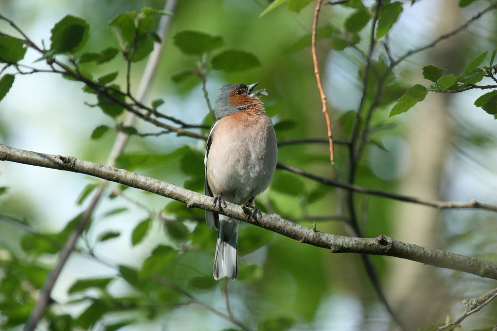 Male chaffinches start singing several minutes earlier in the vicinity of Berlin airport.