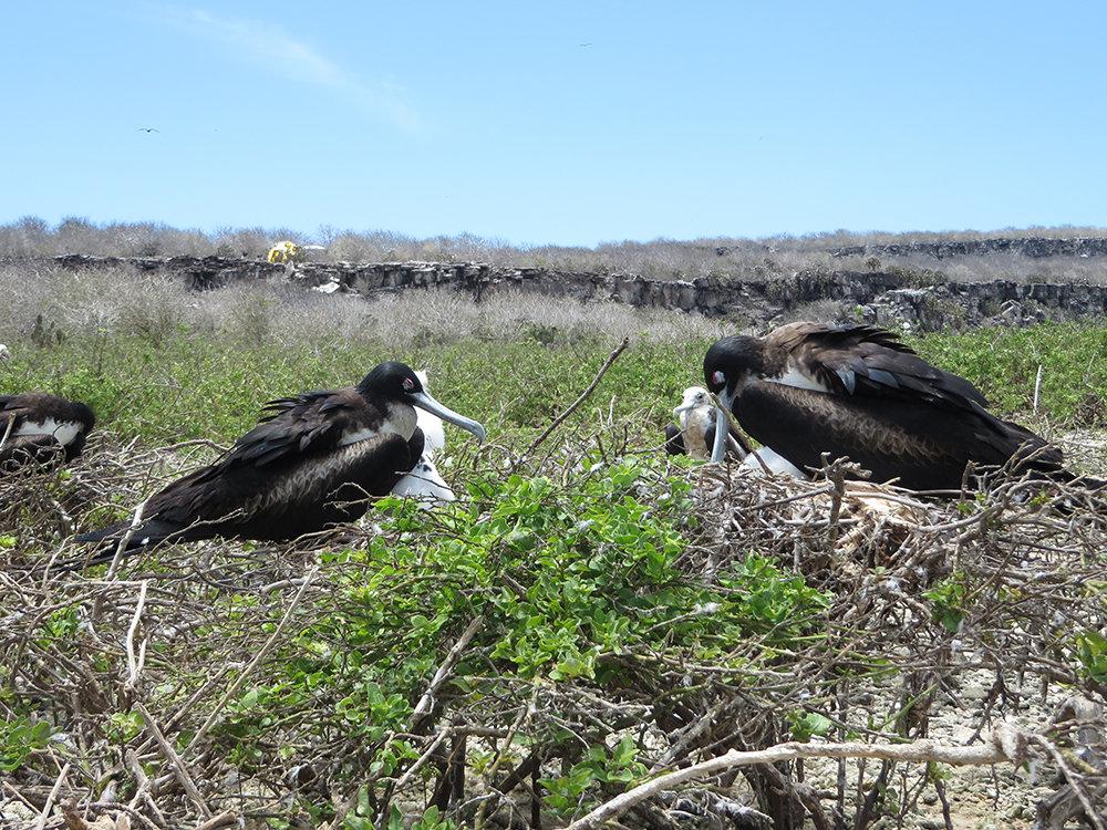 Nickerchen im Nest: Zwei Fregattvogelweibchen erholen sich von ihren letzten Jagdausflügen. Im Hintergrund sind die Zelte der Seewiesener Forscher zu