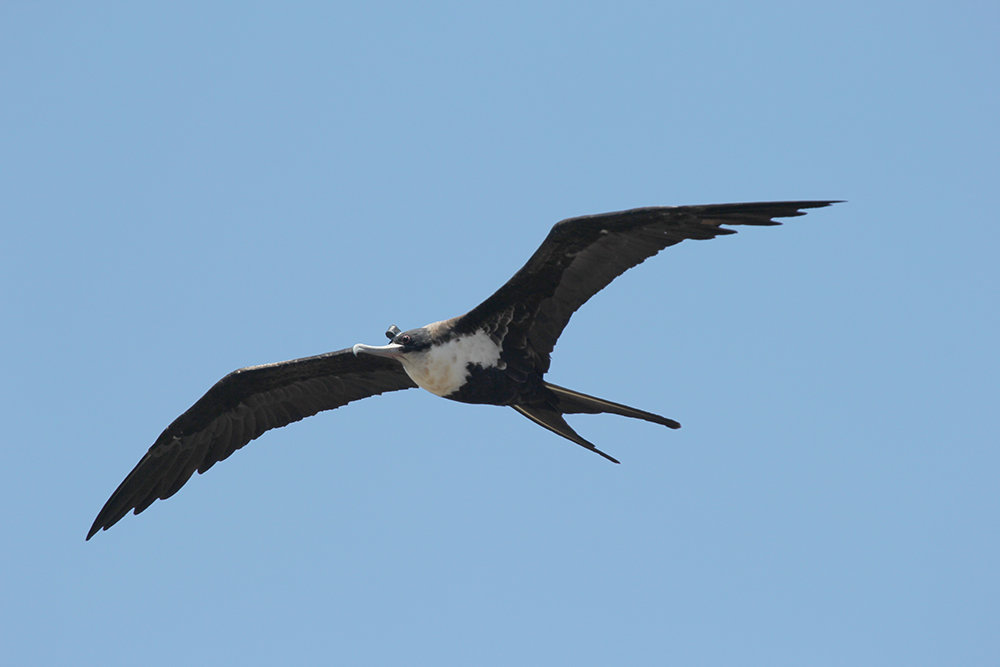 Frigatebirds have a wingspan of more than two metres. They are excellent fliers and can travel distances of several hundred kilometres a day.
