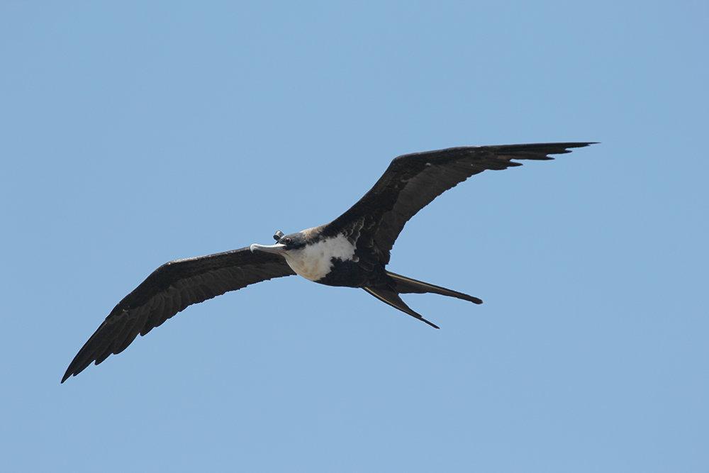 Fregattvogel erreichen eine Flügelspannweite von über zwei Metern. Sie sind hervorragende Flieger und können mehrere hundert Kilometer am Tag zurückle