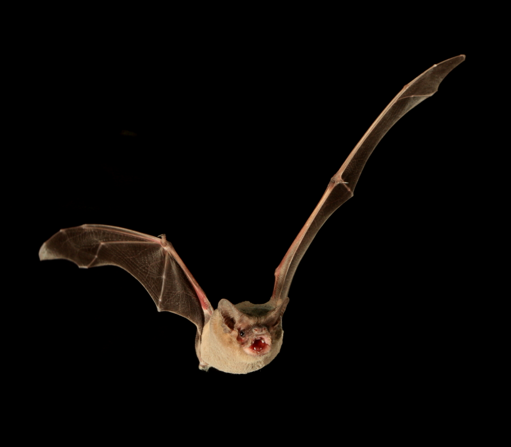 Catch me if you can: the Brazilian free-tailed bat can reach record-breaking speeds.