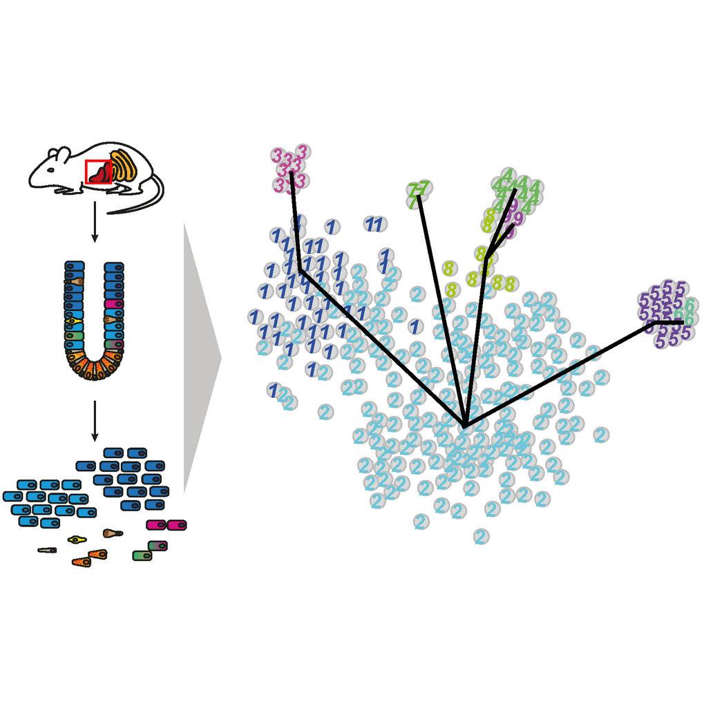 Abb. 1: Die Einzelzellsequenzierung einer komplexen Mischung verschiedener Zelltypen, beispielsweise einer Probe aus dem Darm, erlaubt die Identifizie