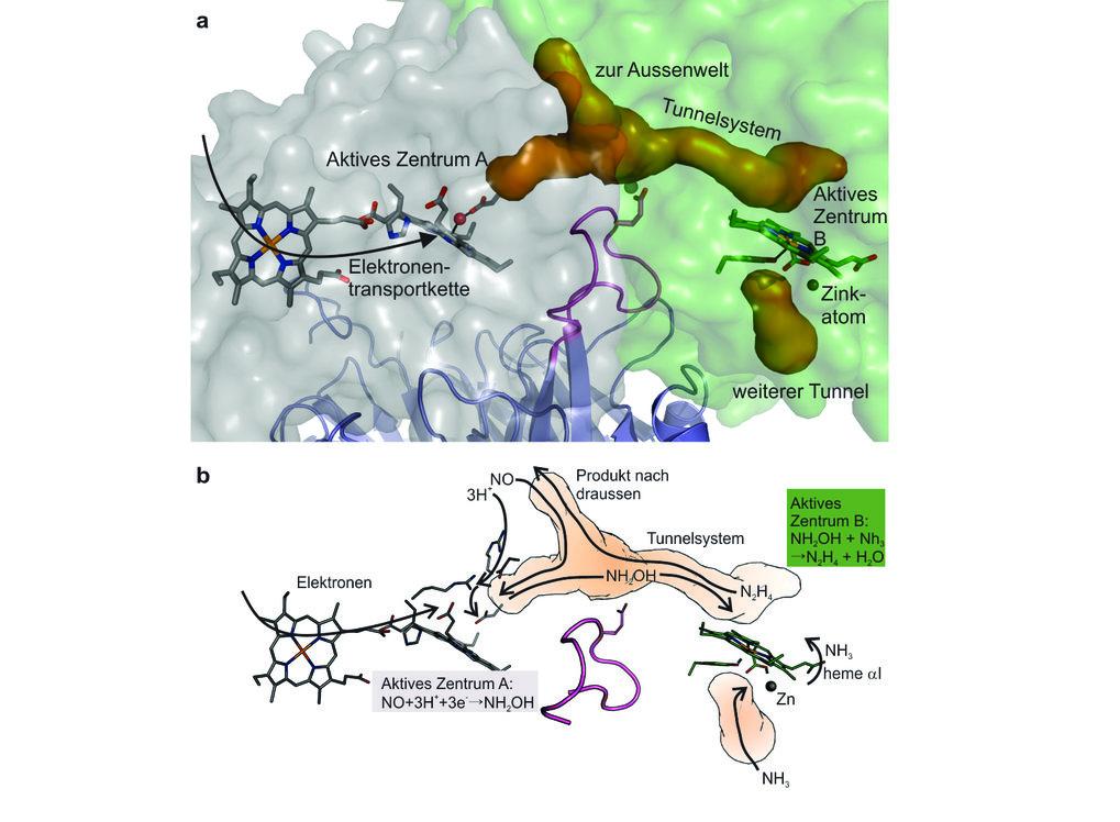 <strong>Abb. 3: </strong>Oben:<strong></strong><span>Die zwei unterschiedlichen aktiven Zentren in Hydrazinsynthase und das Tunnelsystem (orangefarbi