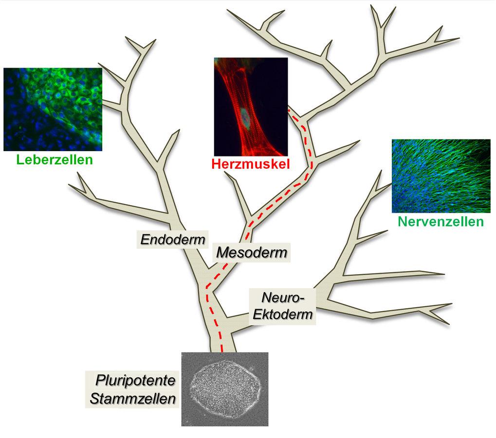 <strong>Abb.1:</strong>Humane pluripotente Stammzellen lassen sich im Labor in Kolonieform vermehren. Das untere Bild zeigt eine undifferenzierte Kol