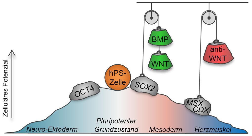 <p><strong>Abb. 2: </strong>Die Stammzelldifferenzierung erfordert die Beseitigung regulatorischer Barrieren.Durch die Behandlung der Zellen mit den