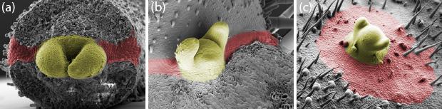 Abb. 2: Bildung von Meristemen aus Grenzschichten. Rasterelektronenmikroskop-Aufnahmen zeigen die Bildung von verschiedenen Meristemen in der Tomate: