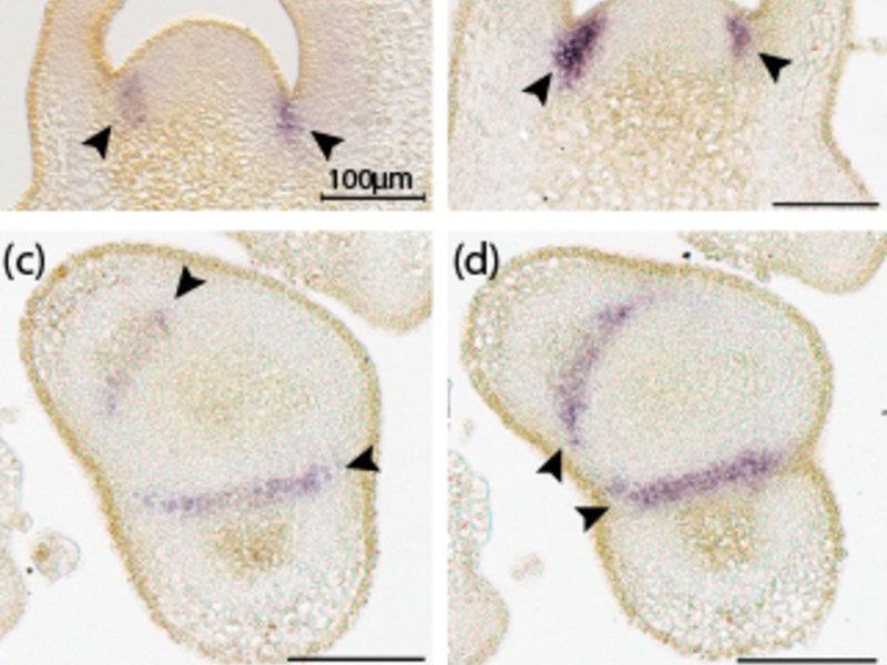 Abb. 3: Die Gene Lateral suppressor und Goblet werden in überlappenden Domänen exprimiert. In-situ-Hybridisierungen mit RNA-Sonden gegen Lateral suppr