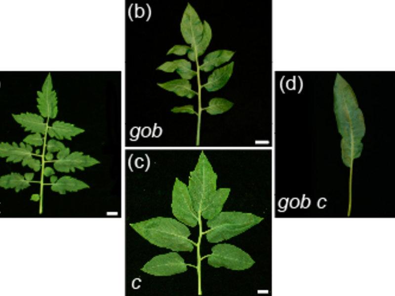 Abb. 4: Grenzschichten geben dem Tomatenblatt seine charakteristische Form. (a) Blatt einer Wildtyp-Pflanze mit den typischen Blattfiedern und einer Z