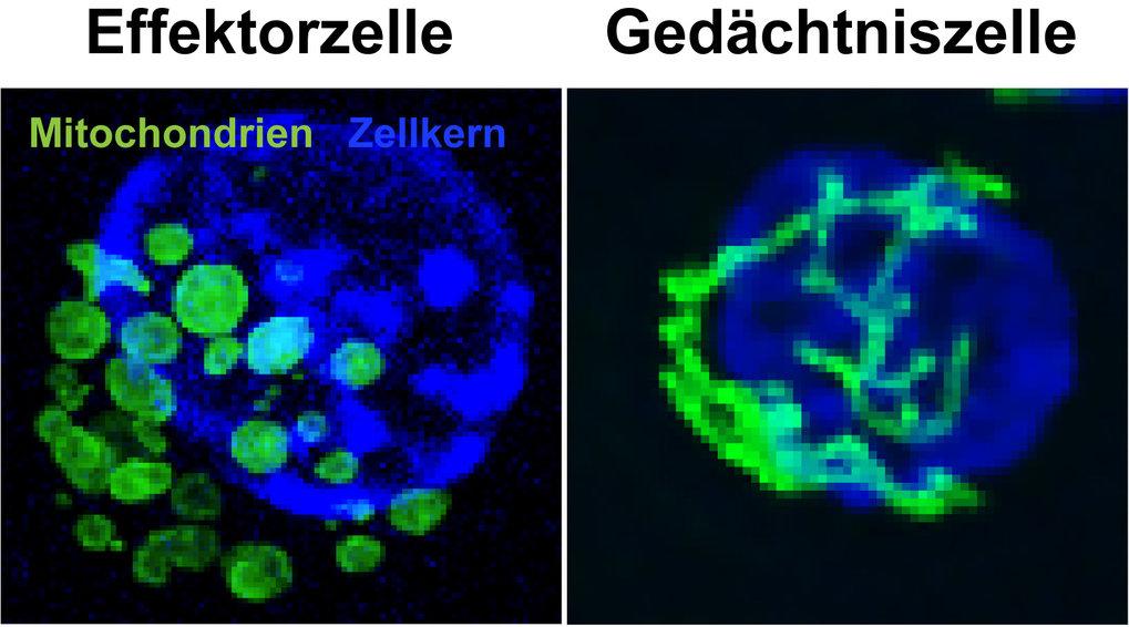 Abb. 1: Lebendzellmikroskopie von Mitochondrien (grün) und Zellnukleus (blau) in T-Effektor- und Gedächtniszellen. Die Visualisierung von Mitochondrie