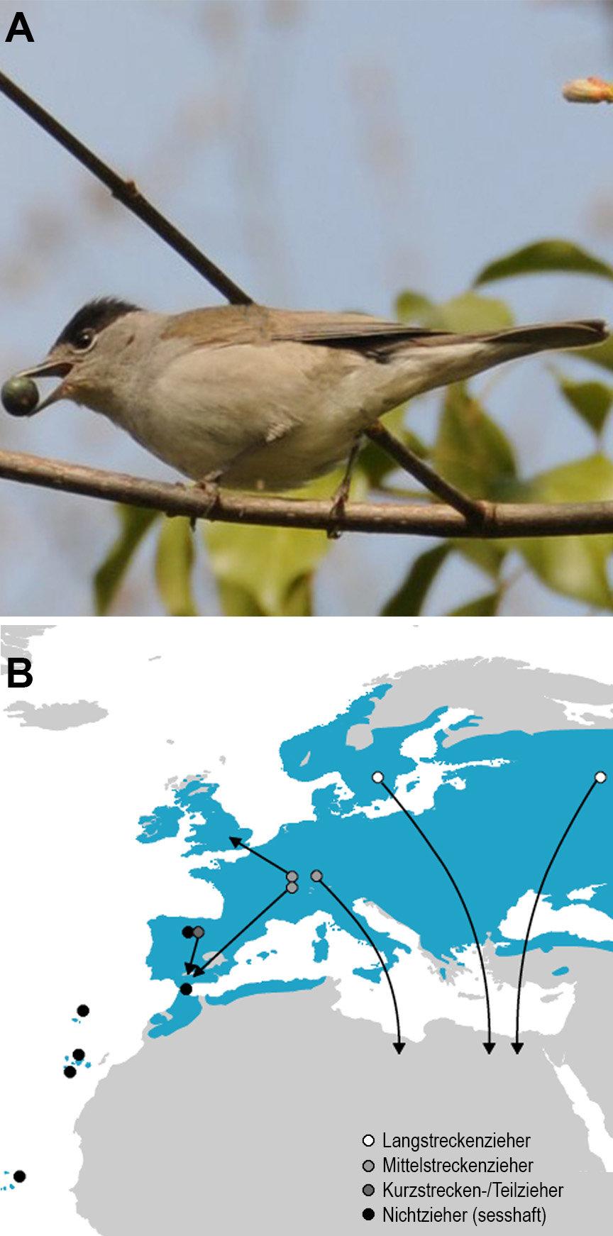 Abb. 1: (A) Männliche Mönchsgrasmücke Sylvia atricapilla mit ihrer namensgebenden charakteristischen schwarzen Kappe. (B) Verbreitungsgebiet der Europ