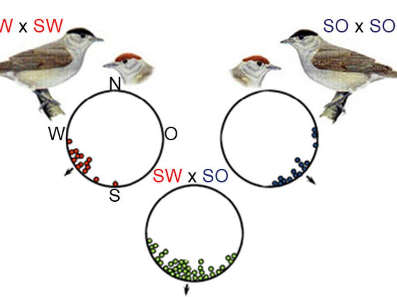 Abb. 2: Kreuzungsexperimente mit Mönchsgrasmücken zeigen, dass Unterschiede im Zugverhalten genetisch manifestiert sind. Die kreisförmigen Orientierun