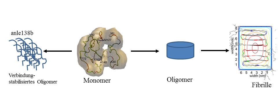 <strong>Abb. 1:</strong> Die verschiedenen Aggregatstufen von α-Synuclein: Monomer, toxische Oligomere, Fibrillen oder verbindungsstabiliserte Oligome