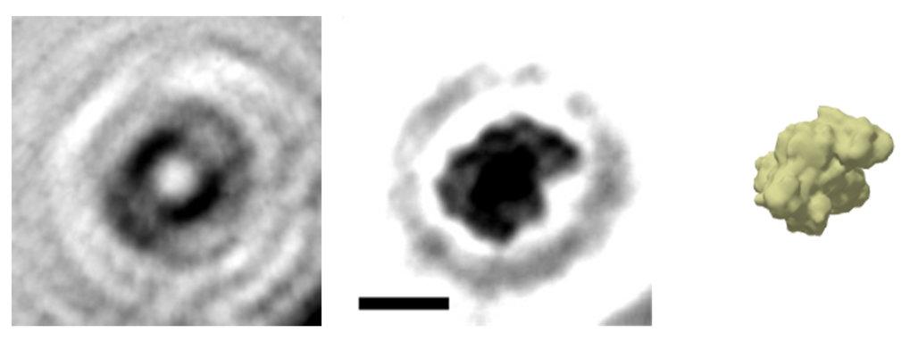 Das holografische Bild eines einzelnen Proteins: Aus dem Hologramm (links) wird das Bild des Proteins Albumin (Mitte) berechnet (Der Balken entspricht
