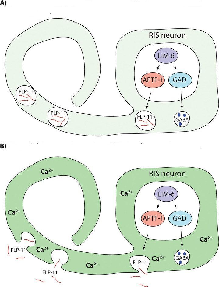 <strong>Abb. 4:</strong> Ein Modell für das RIS Neuron, den Motor des Schlafes in <em>Caenorhabditis elegans</em>. (<strong>A</strong>) Transkriptions