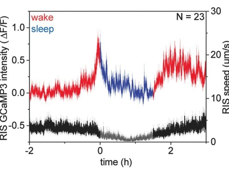 <strong>Abb. 3:</strong> Funktionales Calcium-Imaging zeigt, dass das RIS-Neuron in <em>Caenorhabditis elegans </em>spezifisch zu Beginn der Schlafpha