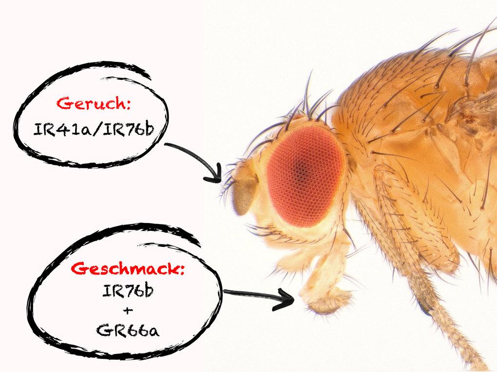 <strong>Abb. 2:</strong> Jeweils zwei Rezeptoren ermöglichen es der Fruchtfliege, die überlebenswichtigen Polyamine in der Nahrung aufzuspüren.