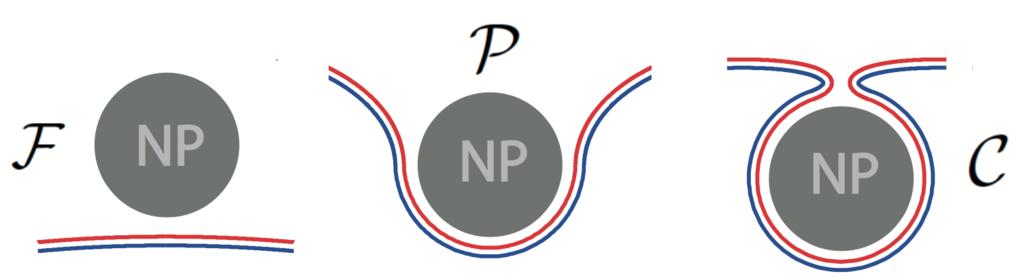 Abb.1: Ein kugelförmiges Nanopartikel (NP, grau) im Kontakt mit einer asymmetrischen Doppelschicht-Membran (rote und blaue Monoschicht) kann einen fre
